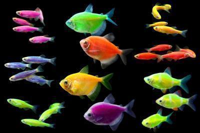 Светящиеся аквариумные рыбки - GloFish - Глофиш