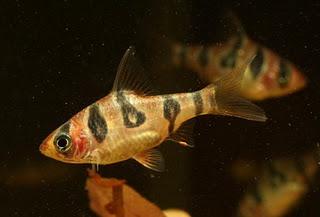 Барбус ромбоцеллятус (Puntius rhombocellatus)
