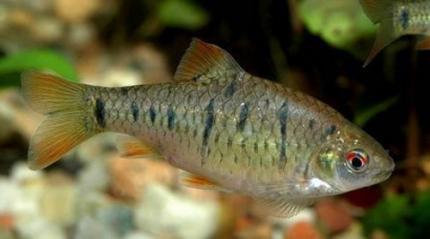 Барбус зеленый (Puntius semifasciolatus)