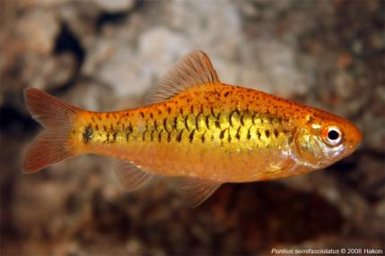 Барбус шуберта (Puntius semifasciolatus)