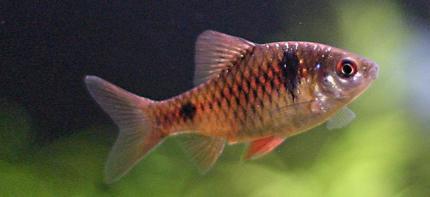 Барбус алый (Puntius ticto)