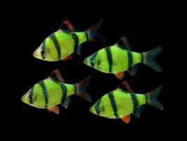 Барбус Суматранский GloFish Зелёный