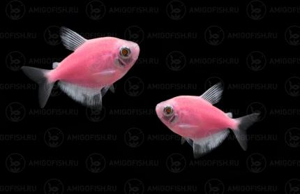 Тернеция GloFish Розовая