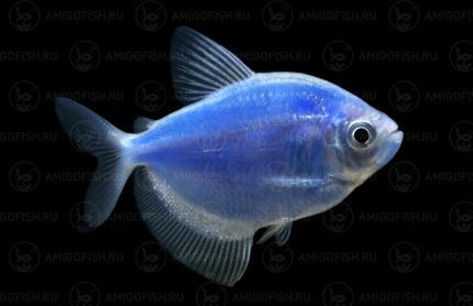 Тернеция GloFish Синяя