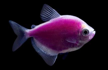Тернеция GloFish Фиолетовая
