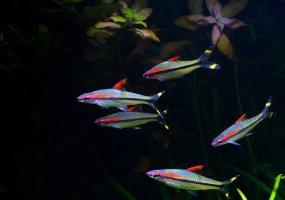 Барбус денисони (Puntius denisonii) купить в Амигофиш