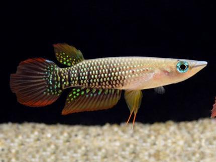 Аплохейлус линеатус (Aplocheilus lineatus)