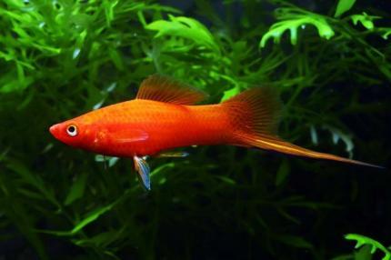 Меченосец Красный (Xiphophorus Helleri)
