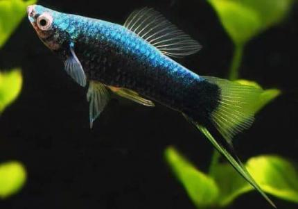 Меченосец Черный (Xiphophorus Helleri)