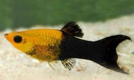 Моллинезия  Лира Черно-желтая (Poecilia Sphenops)