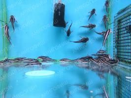 Платидорас (Platydoras Costatus)