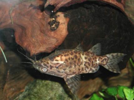 Синодонтис Нигривентрис (Synodontis Nigriventris)