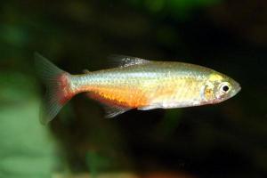 Афиохаракс Рубиновый (Aphyocharax Ranthbuni)