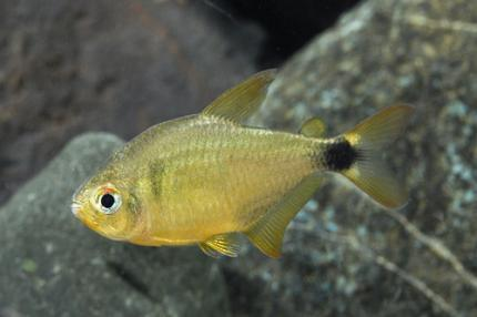 Китти Тетра (Hyphessobrycon Loweae)