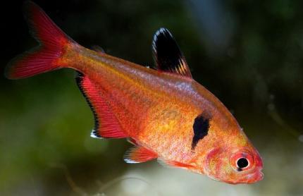 Минор (Hyphessobrycon Serpae)