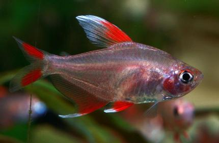 Орнатус Белоплавничный (Hyphessobrycon Sp)