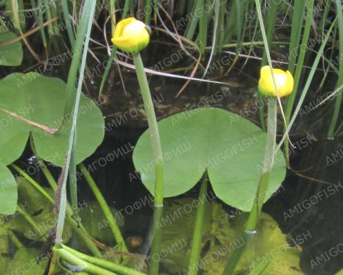 Кубышка желтая подвид адвена