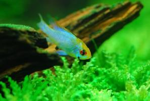 prodtmpimg/15156797146648_-_time_-_1433339207_microgeophagus-ramirezi-electric-blue-3.jpg
