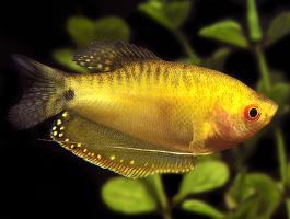 Гурами Золотой (Trichogaster Trichopterus)