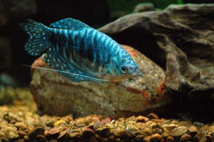 Гурами Мраморный (Trichogaster Trichopterus)