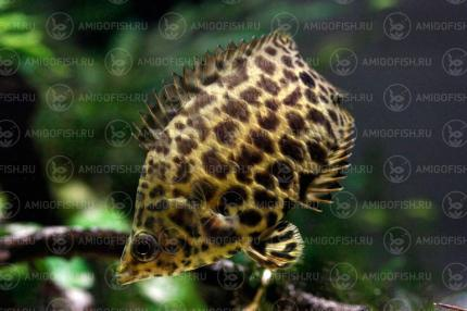 Ктенопома Леопард (Ctenopoma Acutirostre)