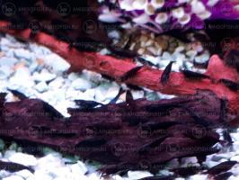 Креветка Черный Шоколад (Caridina Sp)