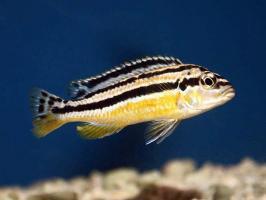 Меланхромис Ауратус (Melanochromis auratus)