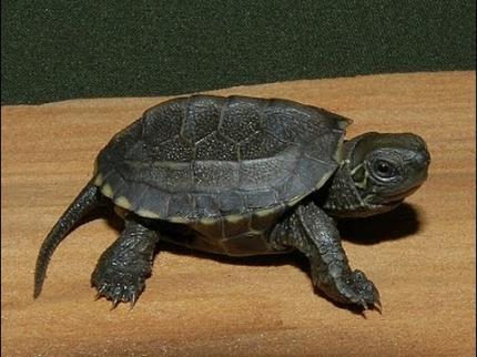 Черепаха китайская трехкилевая