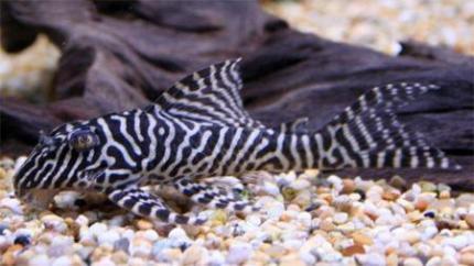 L-066 Королевский Тигровый Хипанциструс