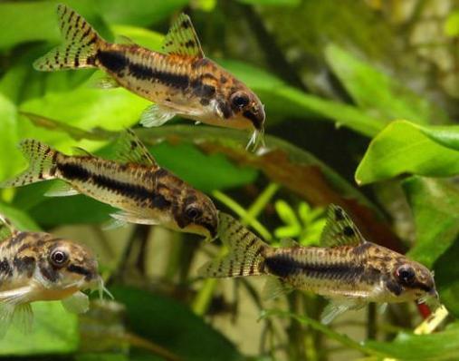 Коридорас Хаброзус (Corydoras Habrosus)