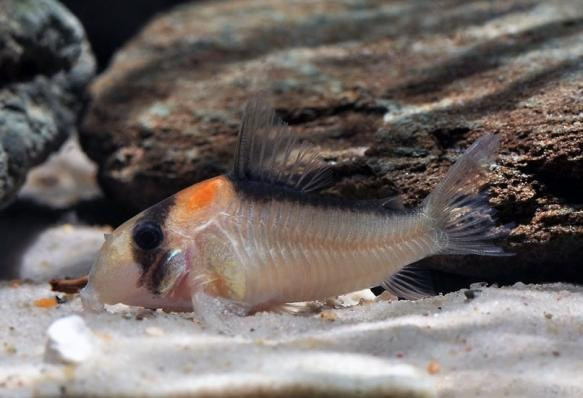 Коридорас Адольфи (Corydoras Adolfoi)