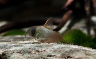 Коридорас Конколор (Corydoras Concolor)