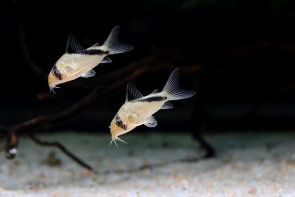 Коридорас Мелини (Corydoras Melini)