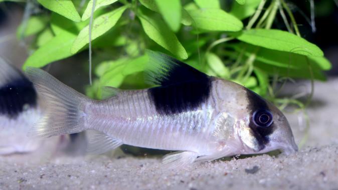 Коридорас Cw051 (Corydoras Sp Cw-51)