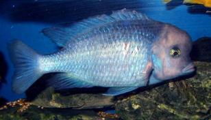 Цихлида Голубой дельфин (Cyrtocara moorii)