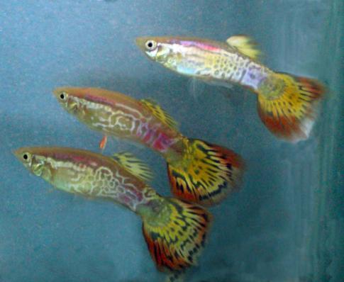 Гуппи Ананас Красный Самцы 3,5-4 см