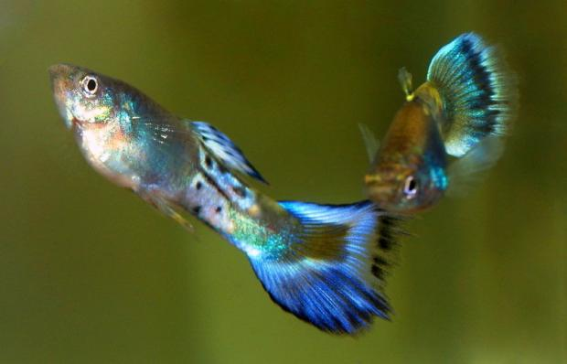 Гуппи Голубой Сапфир самцы 3,5-4 см
