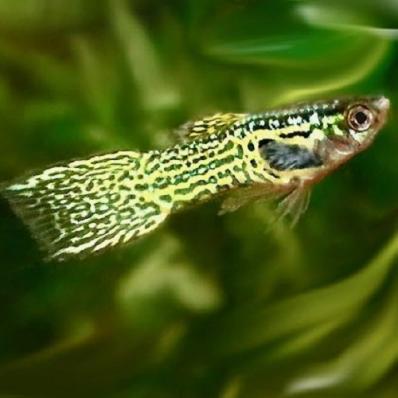 Гуппи эндлера Леопард самцы