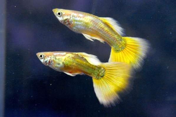 Гуппи Микариф Желтые самцы 3,5-4 см