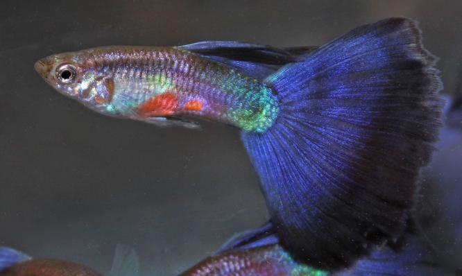 Гуппи Московские Синие самцы 3,5-4 см