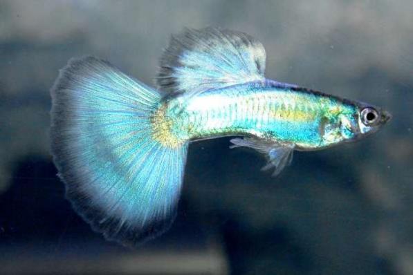 Гуппи Синий Неон Зеленый Хвост Самки 4 см