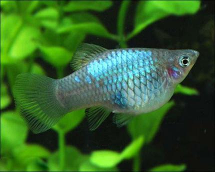 Пецилия Голубая 2-2,5 см