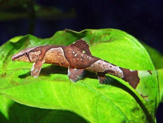 Хомалоптера ортогониата (Homaloptera orthogoniata)
