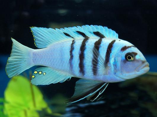 "Цинотиляпия Хара, ""Галлерея Риф"" (Cynotilapia Gallireya Reef)"