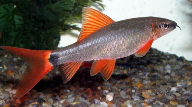 Лабео таиландский (френатус) (Labeo frenatus)