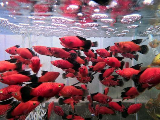 Пецилия красно-черная флаговая, купить в интернет