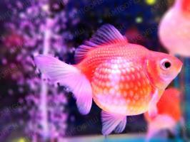 Жемчужина золотая рыбка Люкс