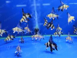 Чукучан, рыба парусник