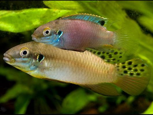 Энигматохромис луканус(Enigmatochromis lucanusi)