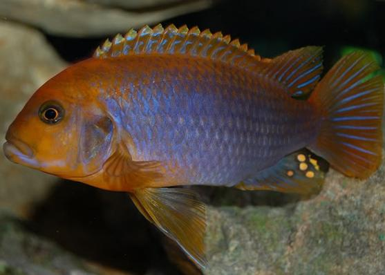 Йодотрофеус аквариумная рыбка